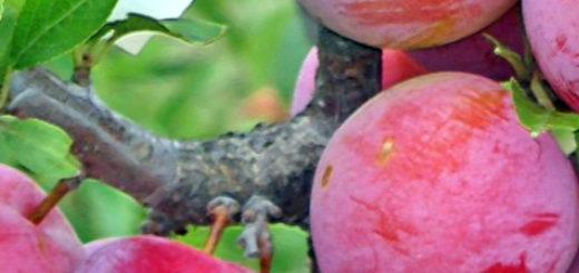 Созревающие плоды сливы Сеянец красного шара на дереве