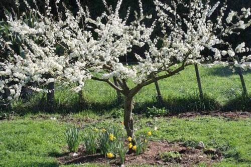 Цветение сливы с чашевидной формой кроны на загородном участке