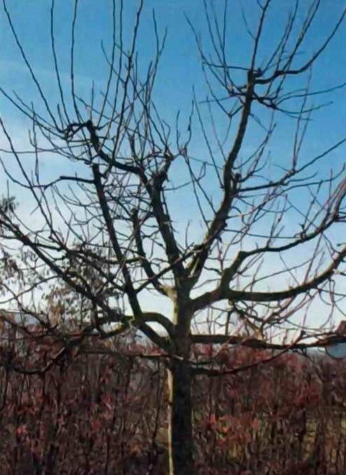 Толстые скелетные ветви дерева сливы с пирамидальной формой кроны