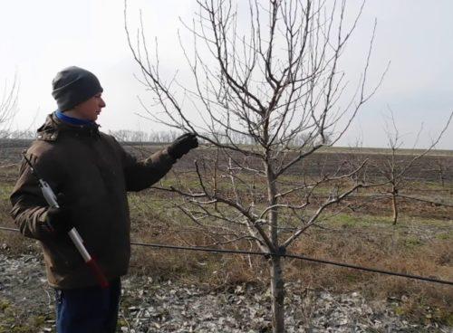 Обрезка садоводом дерева сливы с разреженно-ярусной кроной