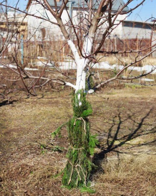 Укрытие центрального ствола взрослой сливы еловыми ветками поздней осенью