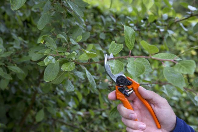 Летняя обрезка садовым секатором веток на сливовом дереве