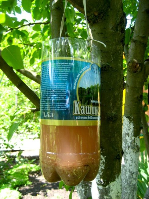 Самодельная ловушка для бабочек из пластиковой бутылки на дереве сливы