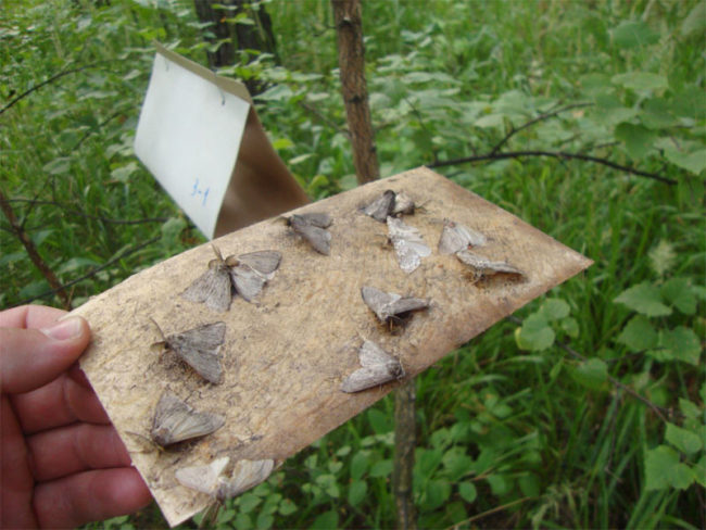 Серые бабочки плодожорки на листе бумаги с клеевым веществом
