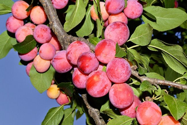 Ветки сливы с плодами красно-бардового цвета сорта Маньчжурская красавица