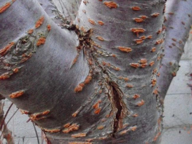 Центральный ствол взрослого сливового дерева с морозобойной трещиной