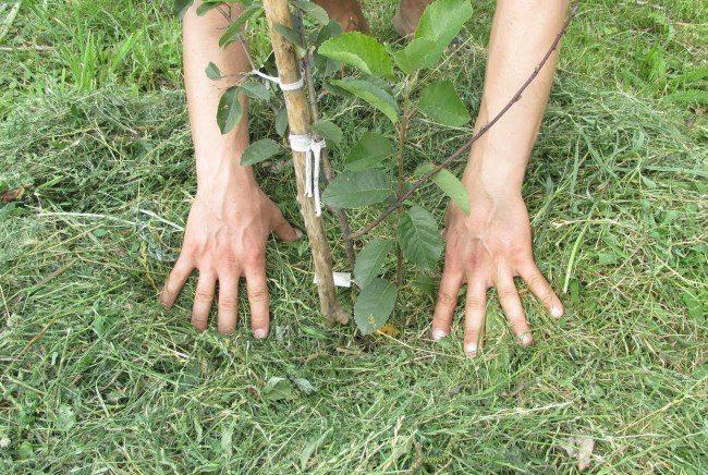 Мульчирование саженца скошенной травой во время весенней посадки