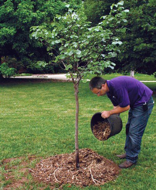 Мульчирование органикой приствольного круга сливового дерева