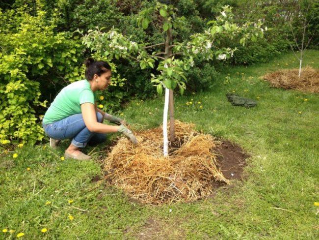 Мульчирование приствольного круга молодой яблони прошлогодней соломой