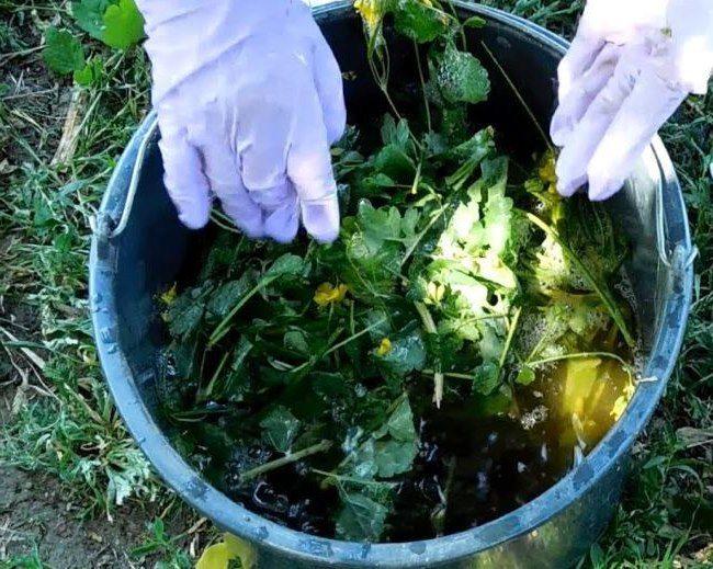 Приготовление настоя чистотела в пластиковом ведре для опрыскивания сливы от тли