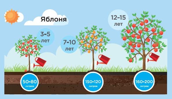 Потребность в воде для яблонь в зависимости от возраста плодового дерева