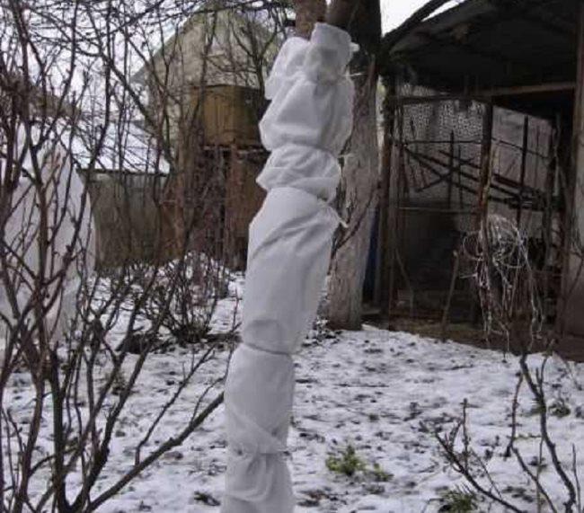 Агротекстиль белого цвета на центральном стволе взрослого дерева сливы