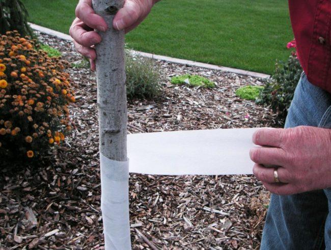 Обматывание белой тканью ствола сливы после лечения трещины своими руками