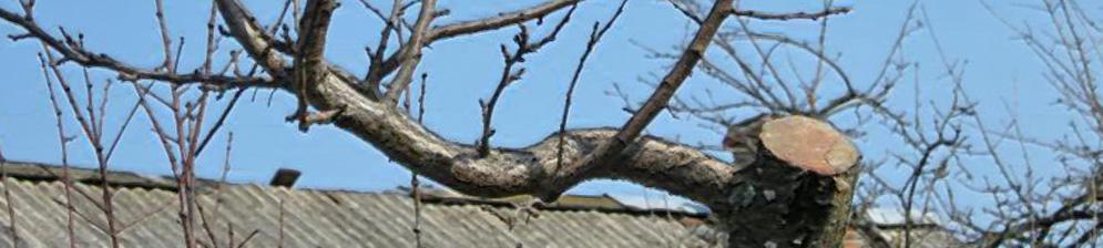 Обрезанный старый ствол сливы и новые ветки с почками