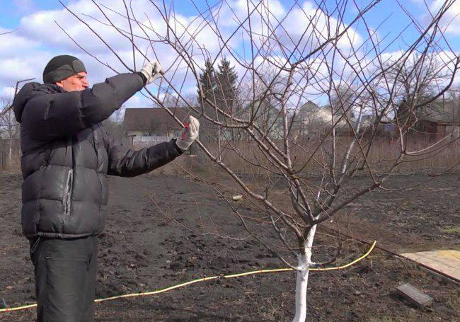 Весенняя обрезка дерева сливы садоводом до распускания почек