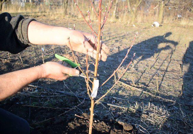 Обрезка центрального ствола сливового деревца в первый год