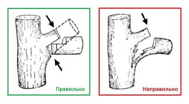 Схемы правильной и неправильной обрезки толстой ветки на сливе