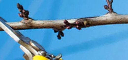 Обрезка ветви сливы жёлтым секатором