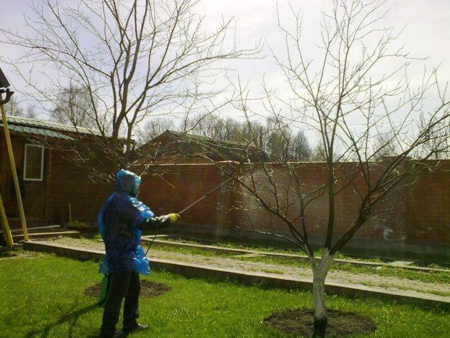 Обработка плодовых деревьев раствором медного купороса ранней весной