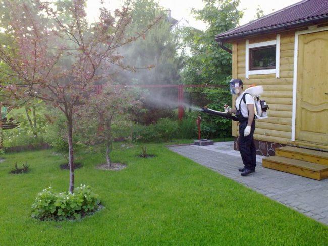 Весенняя обработка деревьев сливы от плодовой гнили профессиональным оборудованием