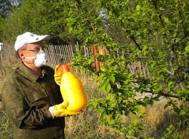 Летняя обработка сливы от тли с помощью ручного садового опрыскивателя
