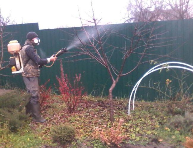 Обработка сливового дерева ранней весной от тли и других вредителей