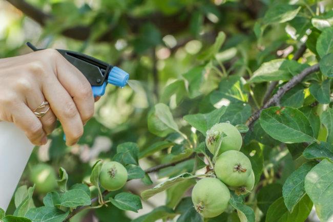 Обработка плодов и листьев яблони в летний период от коричневых пятен