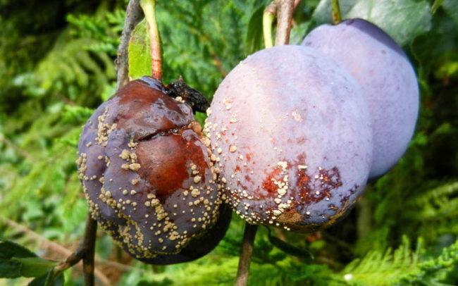 Симптомы поражения сливы плодовой гнилью в конце летнего сезона