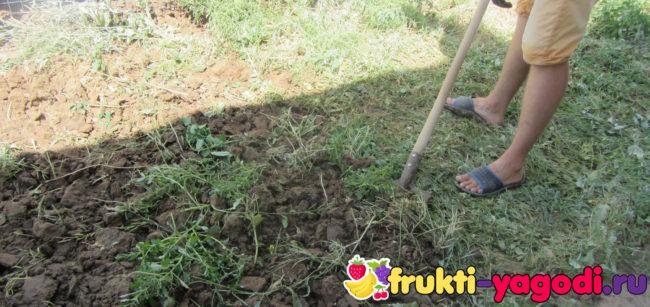 Перекопка сидератов на участке штыковой лопатой