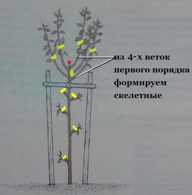 Подробная схема формирования кроны сливы в первый год жизни растения