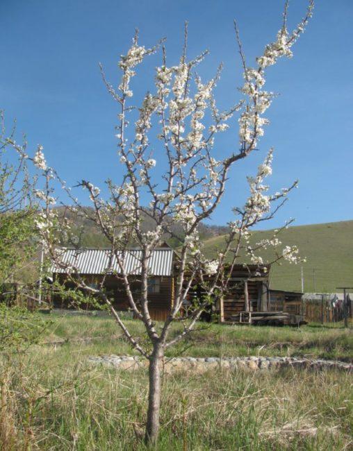 Первое цветение сливового дерева средней высоты в четырехлетнем возрасте