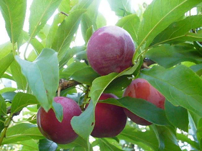 Первые красные плоды сливы на ветке трехлетнего дерева с зелеными листьями
