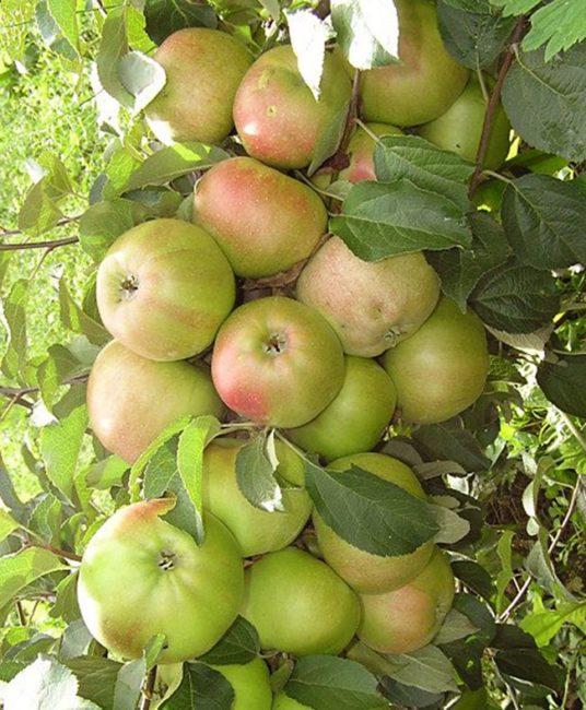 Ствол колоновидной яблони с плотно сидящими плодами розово-зеленого цвета