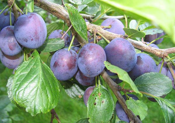 Ветка сливы сорта Ренклод Тамбовский с плодами темно-фиолетового окраса