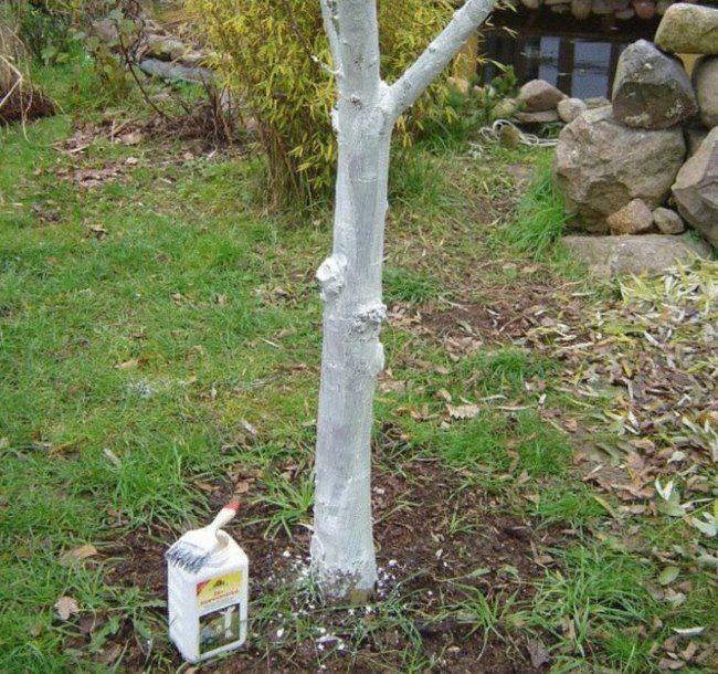 Осенняя обработка ствола сливы раствором садовой побелки