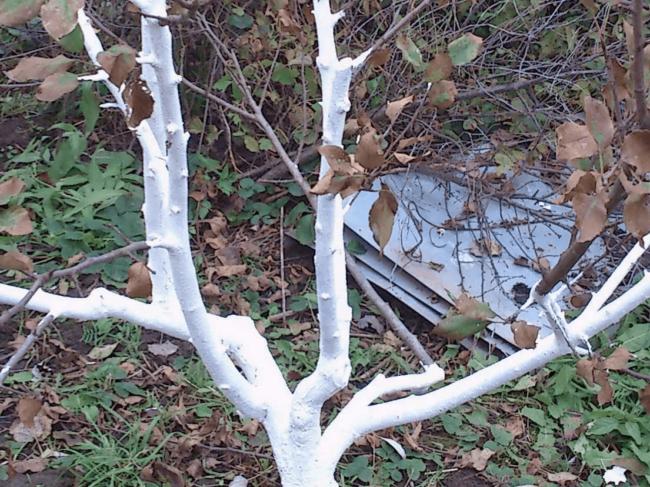 Осенняя побелка веток сливового деревца густо разведенным известковым раствором