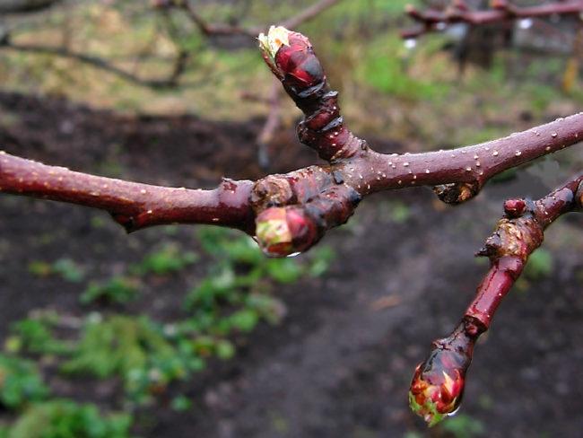 Ветка садовой яблони с набухшими почками ранней весной