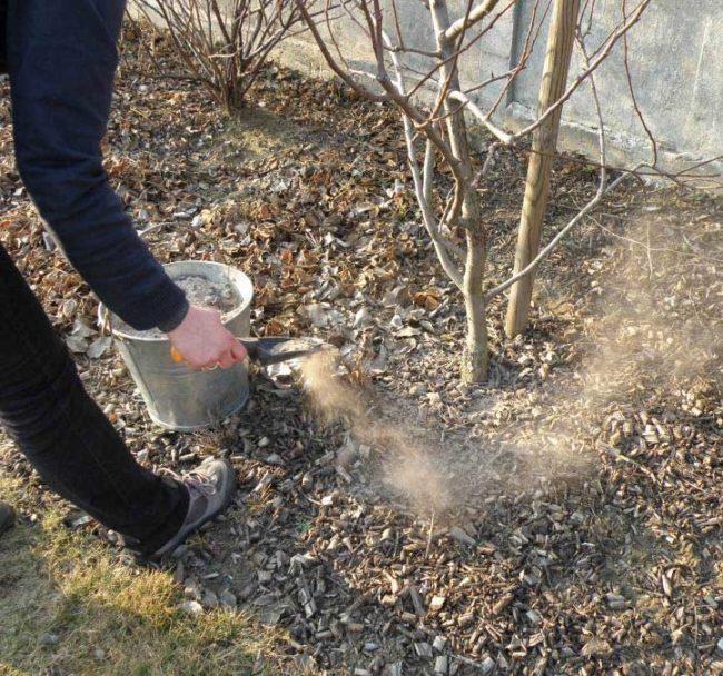 Внесение сухой древесной золы в приствольный круг молодой сливы