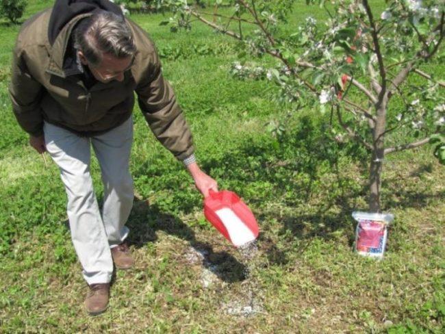 Внесение сухой подкормки в приствольный круг яблони в начале цветения