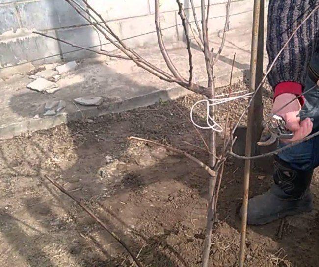 Подвязка саженца сливы к опоре бечевкой при весенней посадке