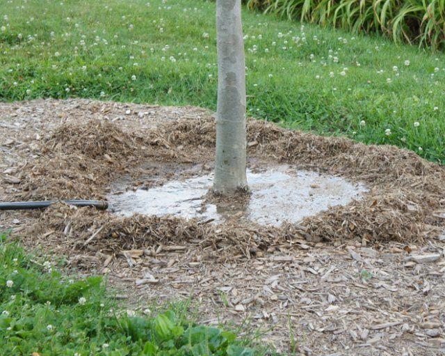 Летний полив сливового дерева из шланга во время плодоношения