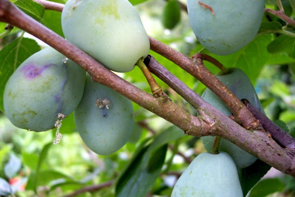 Признаки присутствия личинок пилильщика на плодах сливы