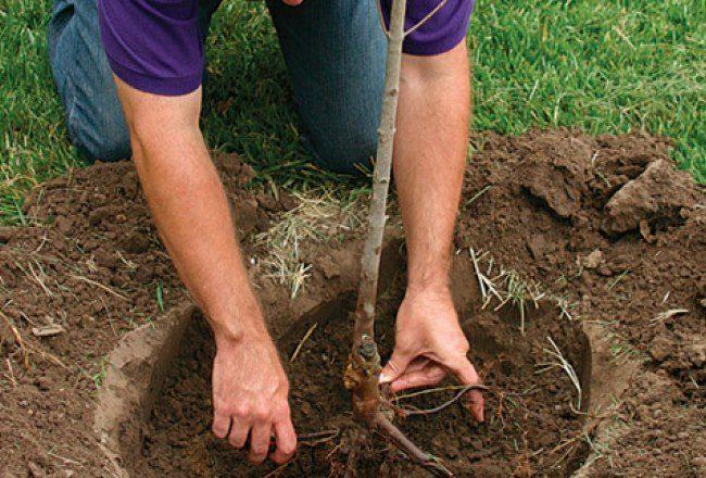 Посадка саженца сливы в заранее подготовленную яму своими руками