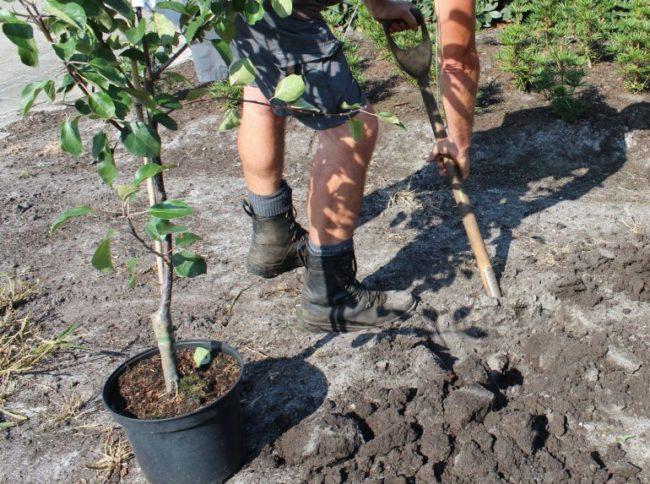 Копка ямы для весенней посадки яблоневого саженца из контейнера