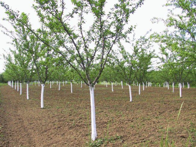Аккуратные посадки сливовых деревьев в саду фермерского хозяйства