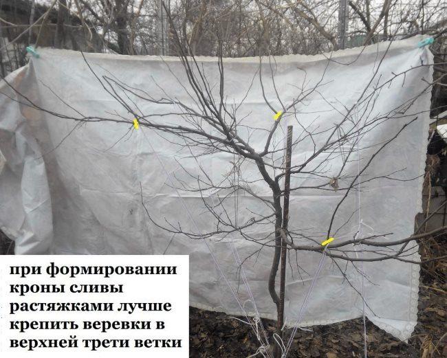 Фото процесса пригибания веток сливы для увеличения плодоношения