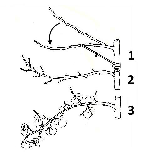 Схема стимулирования ветки сливы к обильному плодоношению с помощью пригибания