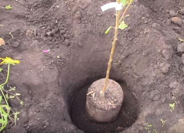 Примерка глубины посадки саженца яблони с закрытой корневой системой