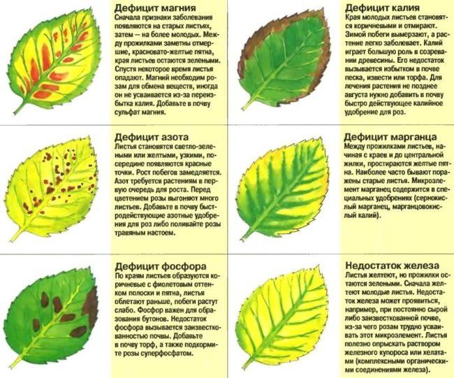 Признаки недостатка питательных веществ в рационе сливы с картинками и описанием