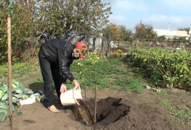 Выливание большого количества воды в посадочную яму для сливового саженца